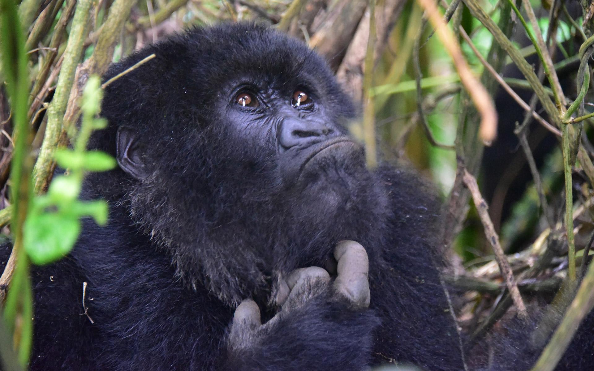 Gorilla-Trekking, Ruanda
